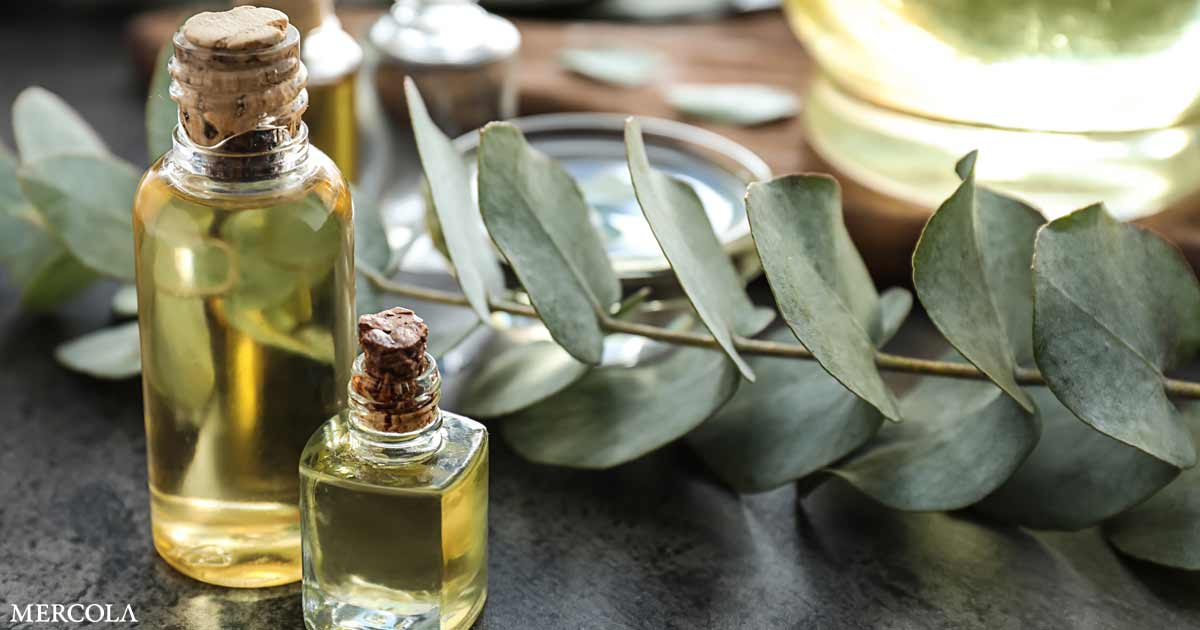Eucalyptus Oil Might Scale back Inflammatory Reactions in Lungs