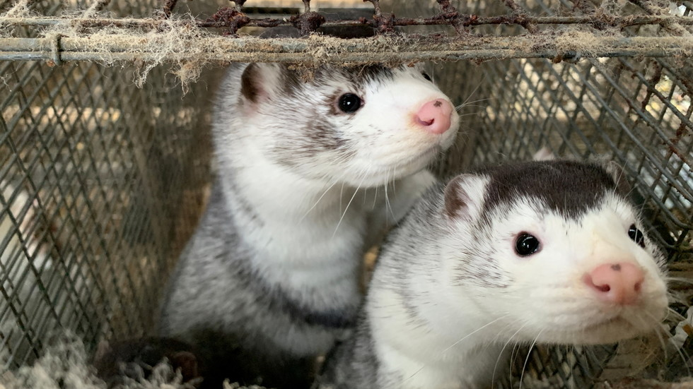 'Zombie mink rise to precise revenge': Hordes of useless 'corona' animals in Denmark resurface from grave after mass cull